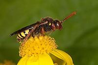 Wespenbiene, Wespen-Biene, Kuckucksbiene, Nomada cf. lathburiana, cuckoo bee, Wespenbienen, Kuckucksbienen, cuckoo bees