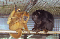 Ananindeua,Brazil : 03/08/2002 - Amazon Primate Center : Captive reproduction of South American primates for biomedical research and species preservation at Ananindeua near Belém nortern of Brazil - Photo by Paulo Amorim