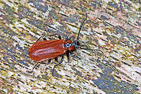Orangefarbener Feuerkäfer, Kleiner Feuerkäfer, Schizotus pectinicornis, cardinal beetle, Feuerkäfer, Pyrochroidae, cardinal-beetles, cardinal beetles