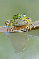 Edible Frog (Rana esculenta), adults on log, Switzerland, Europe