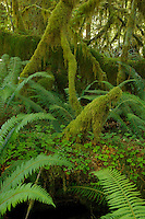 QX1396-D. Ferns and moss-covered trees in the Hoh Rainforest, Olympic National Park. Washington, USA.<br /> Photo Copyright &copy; Brandon Cole. All rights reserved worldwide.  www.brandoncole.com