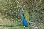 Peacock Display Indian Blue Peacock Southern California