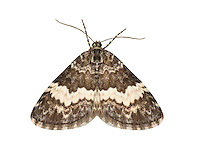 70.073 (1786)<br /> Whitte-banded Carpet - Spargania luctuata