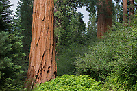 Multiple giant sequoias, Sequoiadendron giganteum, tower over the other plants in Sequoia Crest, CA.