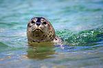 USA; California; La Jolla; San Diego; Swimming with a baby seal in La Jolla