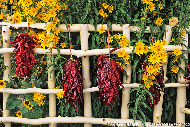 September brings the yellow flowers of Maximilian's Sunflower and red chile ristras to northern New Mexico.
