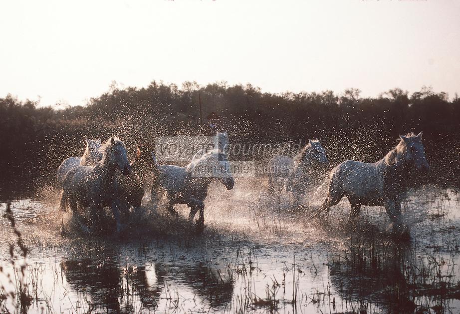 France/13/Bouches du Rhone/Camargue/Parc Naturel Régional de Camargue/Stes Maries de La Mer: Dans une manade un gardian et un troupeau de chevaux traversent un marais
