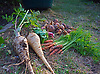 Allotment Produce - Root Vegetables, Parsnips, Carrots, Onions.<br />