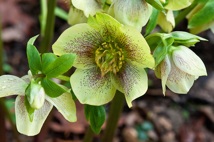 Helleborus x hybridus primrose-flowered, late February.