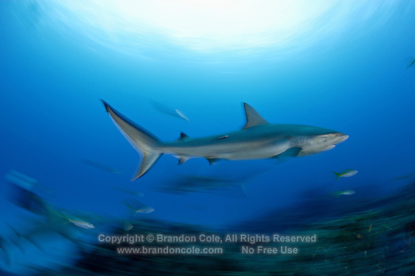 pk11851-D. Caribbean Reef Shark (Carcharhinus perezi). motion-blurred. Bahamas, Atlantic Ocean. .Photo Copyright © Brandon Cole. All rights reserved worldwide.  www.brandoncole.com..This photo is NOT free. It is NOT in the public domain. This photo is a Copyrighted Work, registered with the US Copyright Office. .Rights to reproduction of photograph granted only upon payment in full of agreed upon licensing fee. Any use of this photo prior to such payment is an infringement of copyright and punishable by fines up to  $150,000 USD...Brandon Cole.MARINE PHOTOGRAPHY.http://www.brandoncole.com.email: brandoncole@msn.com.4917 N. Boeing Rd..Spokane Valley, WA  99206  USA.tel: 509-535-3489
