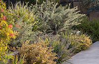 Grevillea lavendulaceae 'Penola' silver foliage shrub in California summer-dry mixed border garden with Australian plants, Dianella, Lomandra; design Jo O'Connell