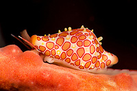 Rosewater's egg cowrie, Primovula rosewateri, on gorgonian coral. Raja Ampat, West Papua, Indonesia, Indian Ocean