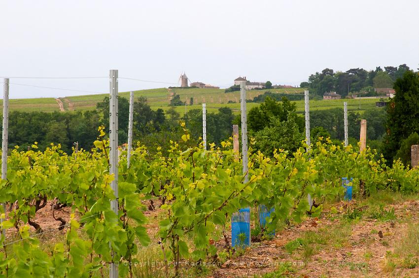 vineyard trellised moulin a vent beaujolais burgundy france