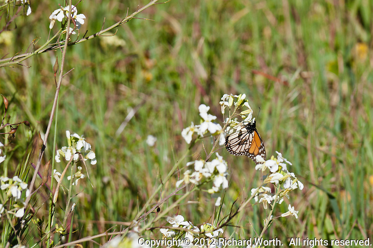 A monarch butterfly on a wildflower at Lighthouse Field State Park in Santa Cruz, California.