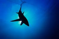 pelagic thresher shark, Alopias pelagicus, caught in gill net, Huatabampo, Mexico, Sea of Cortez, Pacific Ocean