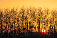 Aspen trees at sunset<br /> Melfort<br /> Saskatchewan<br /> Canada