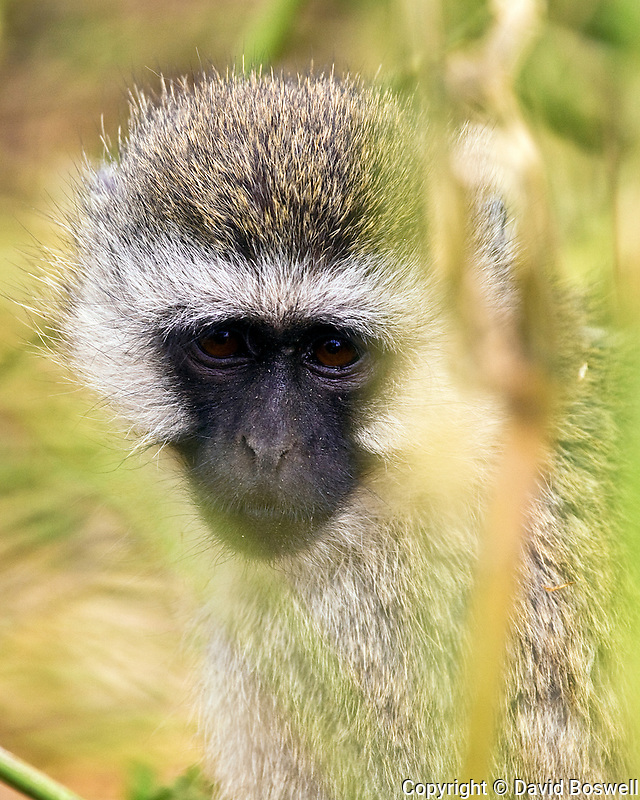 A vervet monkey photographed in Ngorongoro Crater