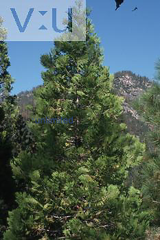 Incense cedar used to make closets, furniture and lead pencils. (Libocedrus decurrens) California