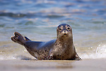 USA, California, La Jolla, San Diego, A seal on a beach along the Pacific Coast