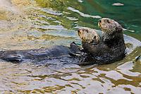 Sea Otter (Enhydra lutris).