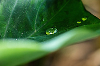 Water drops collect on a kalo (or taro) leaf in Kalihi, O'ahu; a kalo root can be made into poi, a Hawaiian staple food.