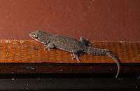 Common House Gecko (hemidactylus frenatus) - Siquirres, Costa Rica.