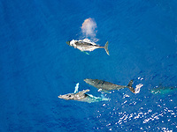 An aerial view of four humpback whales, Megaptera novaeangliae, at the surface, Hawaii.