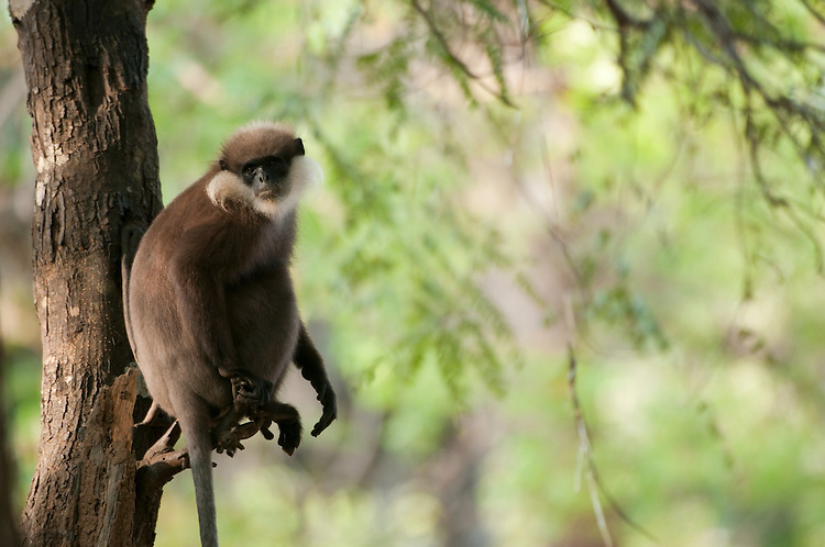 A purple faced langur in a tree. Archaeological reserve, Polonnaruwa, Sri Lanka. IUCN Red List Classification: Endangered