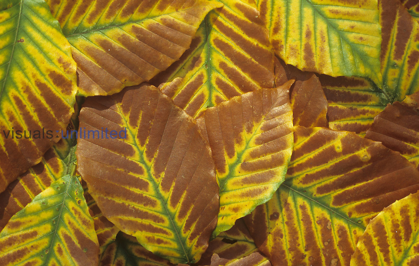 American Beech tree leaves in the fall ,Fagus grandifolia, North America.