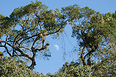 Parana, Brazil. Half Moon through the trees of Mata Atlantica forest.