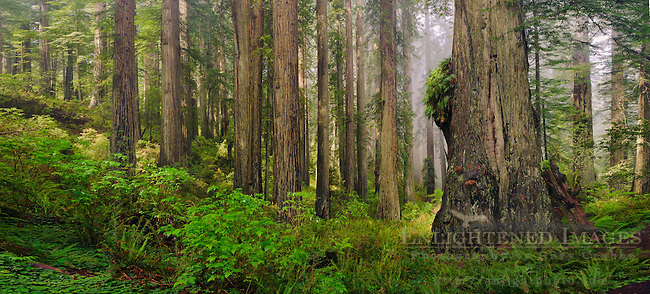 Panoramia of Redwood forest and fog, Redwood National and State Parks, Del Norte County California