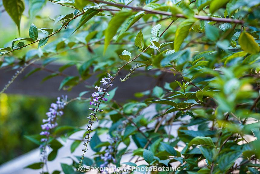 Buddleja sp flowering shrub, (Stratford Stage) Marin Art and Garden Center