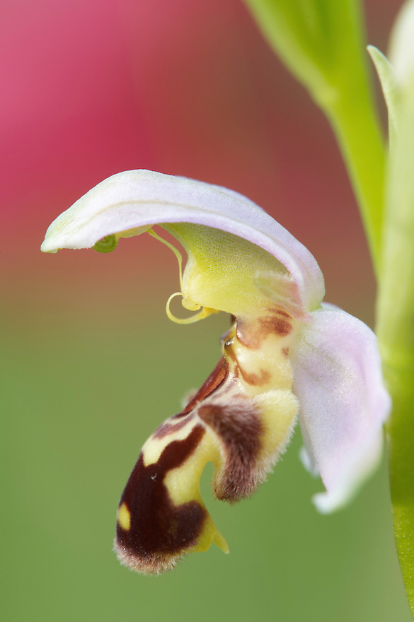Flower of Bee orchid (Ophrys apifera), San Marino.
