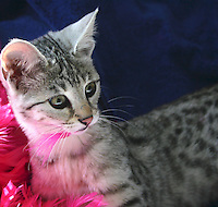 Savannah Kitten with Pink Feather in Her Mouth
