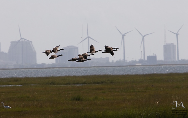 Canadian Geese flying past windmills near Atalantic City, New Jersey.  Windmills are responsible for bird deaths.