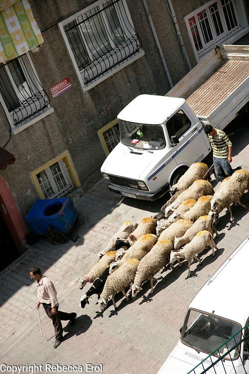 Sheep for sale for the muslim festival of Eid on a back street of Beyoglu, Istanbul, Turkey