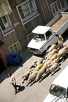 Sheep for sale for the muslim festival of Eid on a back street of Beyoglu, Istanbul, Turkey