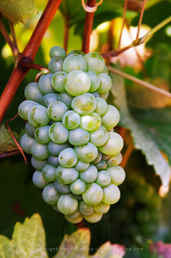 Bunches of ripe grapes. Chenin Blanc. Vouvray village, Touraine, Loire, France