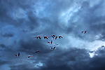 Flamingos (Phoenicopteridae) flying against dark cloudy sky.