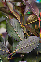 Weigela florida 'Alexandra' aka 'Wine & Roses' dark purple black foliage shrub plant