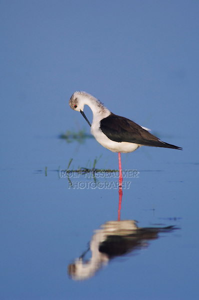 Black-winged Stilt, Himantopus himantopus, adult preening, National Park Lake Neusiedl, Burgenland, Austria, April 2007