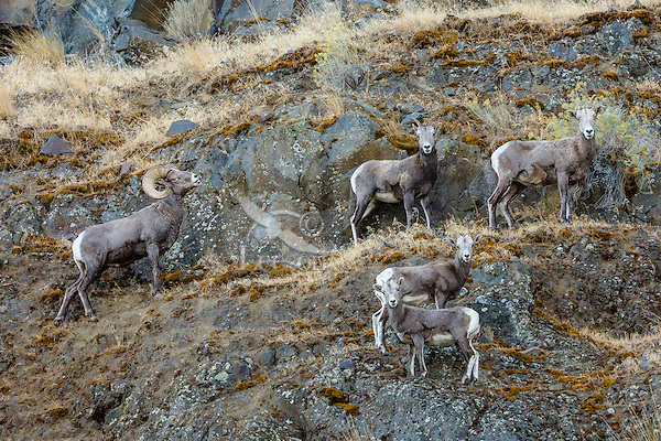 Small group of bighorn sheep (Ovis canadensis) on steep hillside ledges near the John Day and Columbia Rivers in North Central Oregon.  October.  Note: These sheep were formerly known as California Bighorn, but are now classified with Rocky Mountain Bighorn.