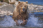 Brown bear going after salmon, Katmai National Park, Alaska, USA