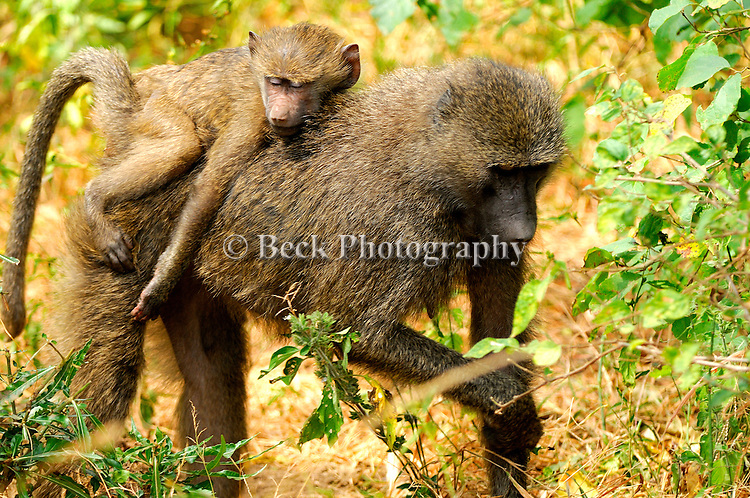 An mother Olive Baboon with  a baby on it's back.