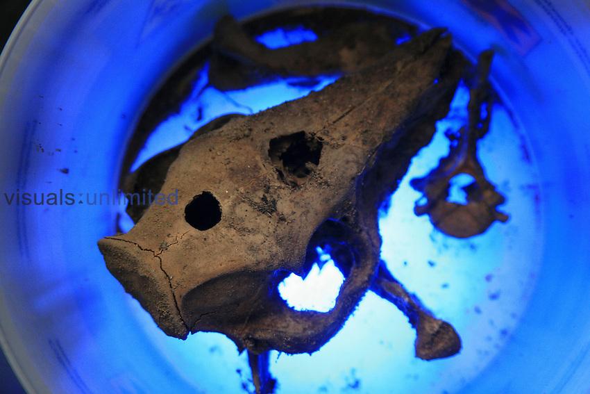 Pig skull after deomposition.