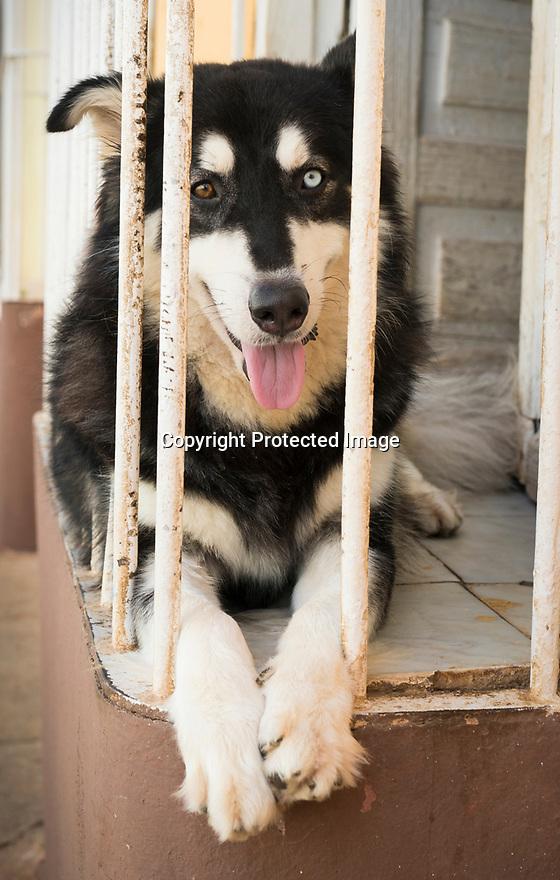 27/07/18<br /> <br /> A dog with different coloured eyes, Trinidad, Cuba.<br /> <br /> All Rights Reserved, F Stop Press Ltd. (0)1335 344240 +44 (0)7765 242650  www.fstoppress.com rod@fstoppress.com