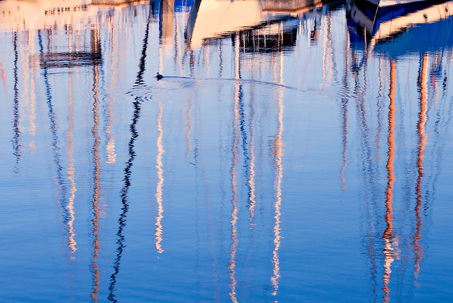 Lone Duck Swimming Through Sailboat Reflections in Long Beach Harbor, CA.