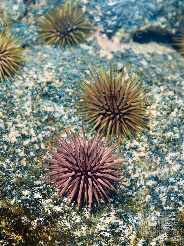 Sea urchins in a tide pool, Kona, Big Island.
