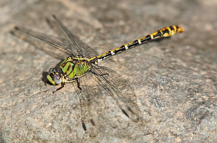385320006 a wild male dashed ringtail dragonfly erpetogomphus perches on a rock on the membis river near royal john mine road grant county new mexico united states..GPS:N 32.73066.         W -107.86653