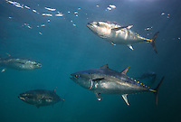 southern bluefin tuna photos